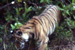tiger in chitwan